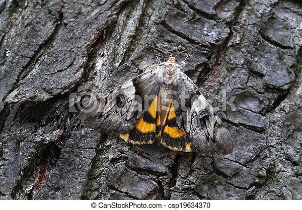 karmozijnrood, licht, moth, underwing - csp19634370