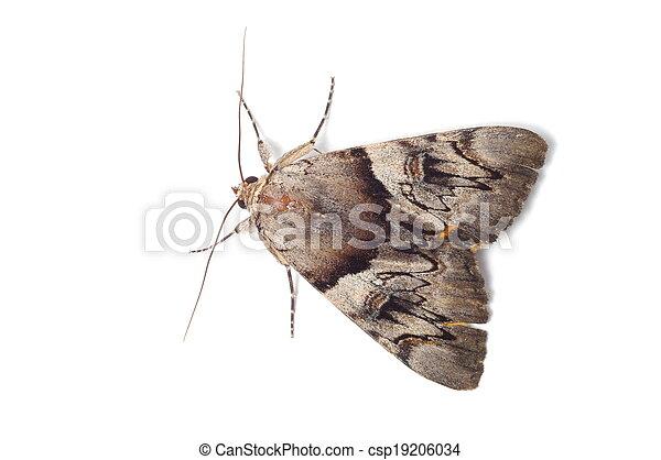 karmozijnrood, licht, moth, underwing - csp19206034