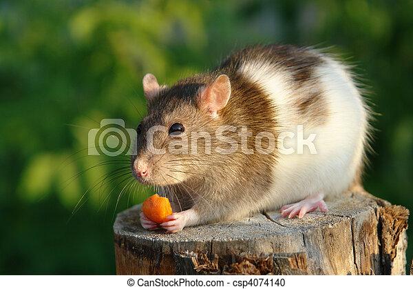 Maus mit Karotte - csp4074140