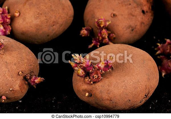 Kartoffeln sprießen - csp10994779