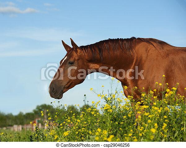 kastanje, gouden, paarde, purebred, gele bloemen - csp29046256