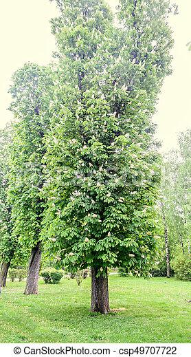 Boom Met Bloemen.Kastanje Grote Boom Op Bloemen Groene Afsluiten Witte