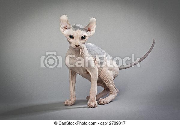 Haarlose Katze auf grau - csp12709017