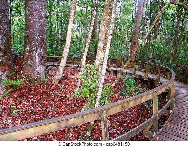 Kauri Tree - Waipoua Forest - csp6481150