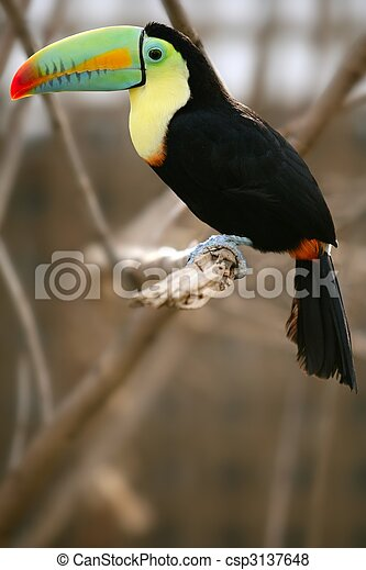 kee, toucan, billed, coloré, oiseau - csp3137648