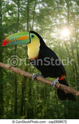 kee, tucano, billed, coloridos, pássaro - csp2898672