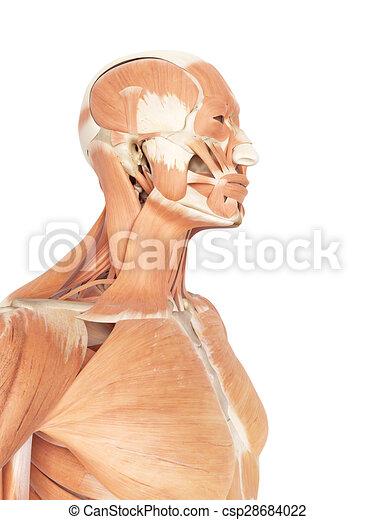 Kehle, muskeln, hals. Muskeln, hals, genau, abbildung, kehle, medizin.