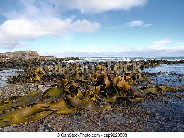 Kelp covered coast, rocks, sea - csp9220508