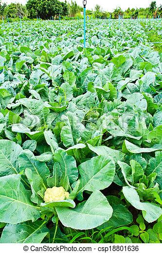 keuken, tuin, bloemkool, plant, groente, kool, bestanddeel, italiaanse  - csp18801636