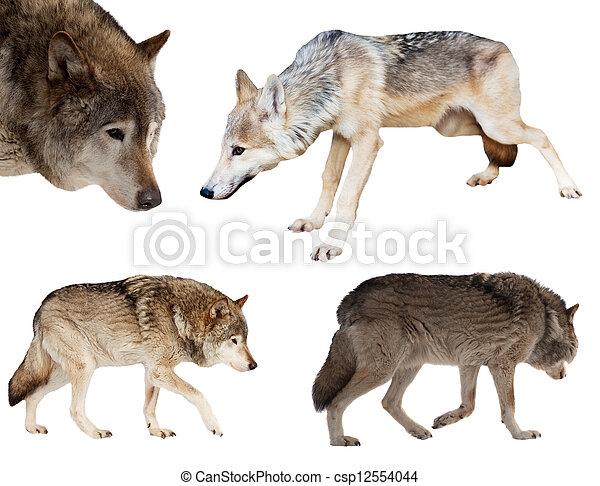 kevés, felett, állhatatos, farkasok, fehér - csp12554044