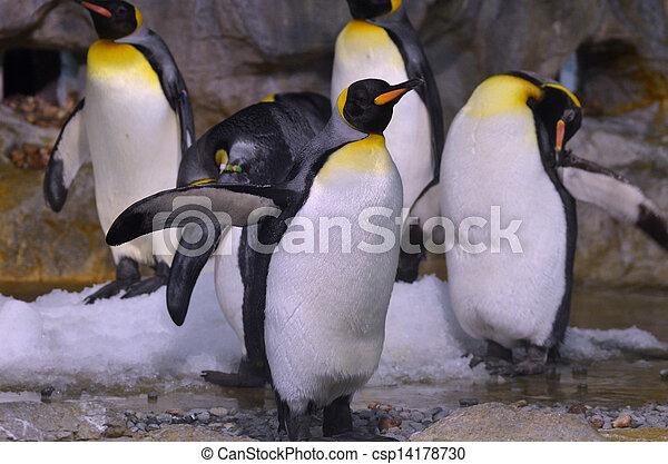 King Penguin - csp14178730