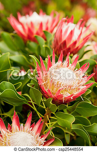 King Protea flowers - csp25448554