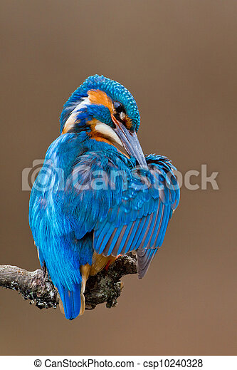 Kingfisher perched on a branch - csp10240328