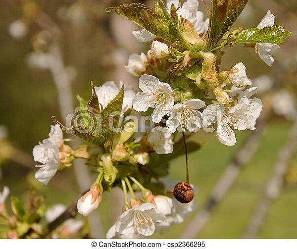 Getrocknete Blüten kirschen weißes getrocknete blüten getrocknete stockbilder