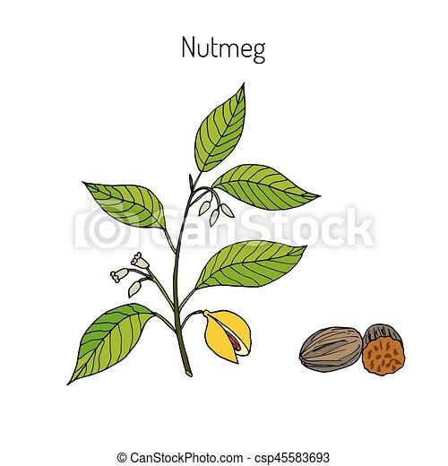 Kitchen spices. Nutmeg - csp45583693