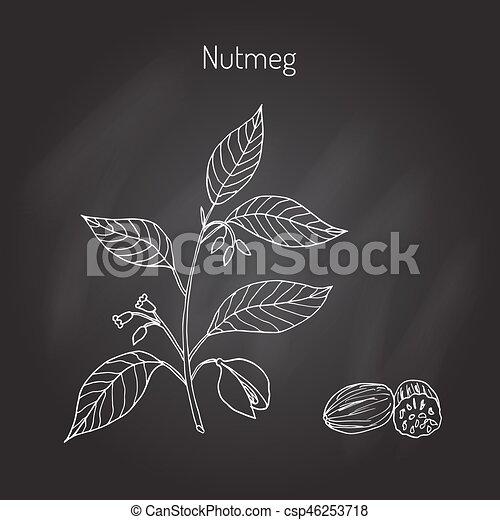 Kitchen spices. Nutmeg - csp46253718