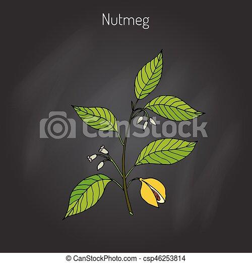 Kitchen spices. Nutmeg - csp46253814