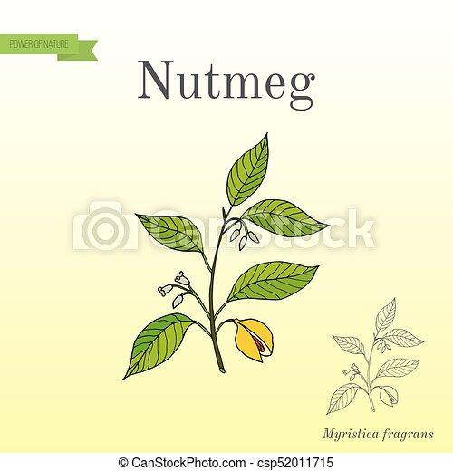 Kitchen spices. Nutmeg - csp52011715
