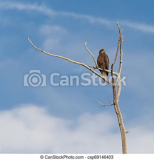 Kite sitting on a branch - csp69146403