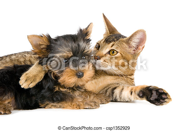 Kitten and the puppy of the spitz-dog - csp1352929