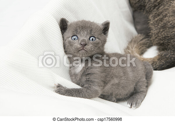 kitten looking at the camera - csp17560998