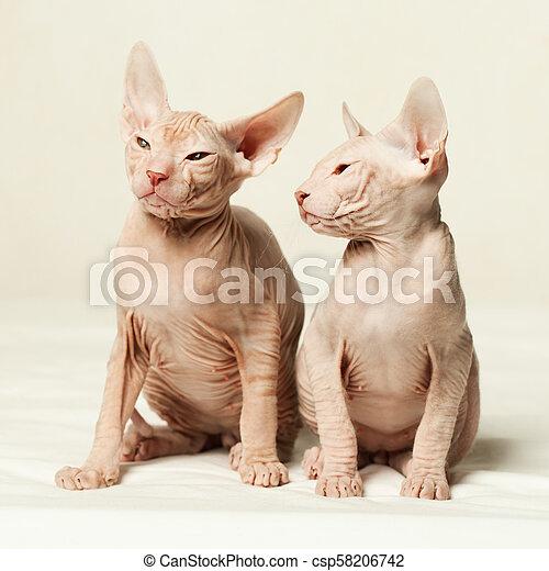 Kittens don sphynx on white background