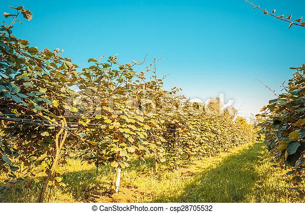 Berühmt Kiwi, baum. Kiwi, plantage, reihen, bäume. &NH_75