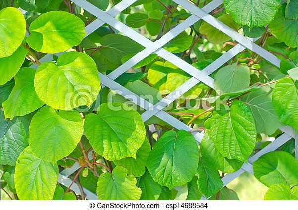 kiwi leaf - csp14688584