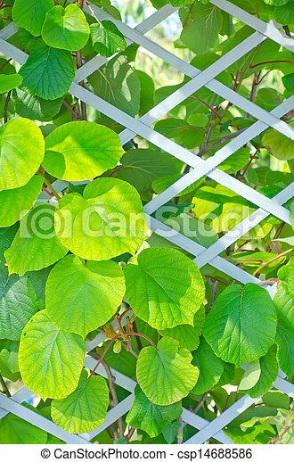 kiwi leaf - csp14688586