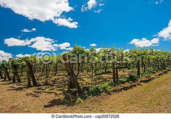kiwi, plantatie - csp20972528