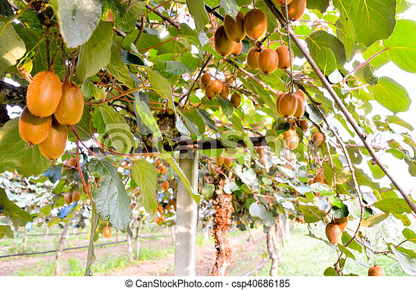 kiwi plantation arbre fruitier kiwi image photo fruit images rechercher photographies. Black Bedroom Furniture Sets. Home Design Ideas