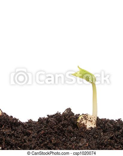 kleine, boon, kiemplant - csp1020074