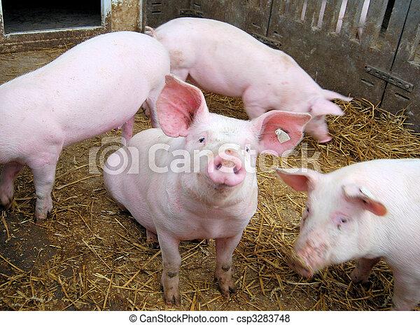 kleine, varken - csp3283748