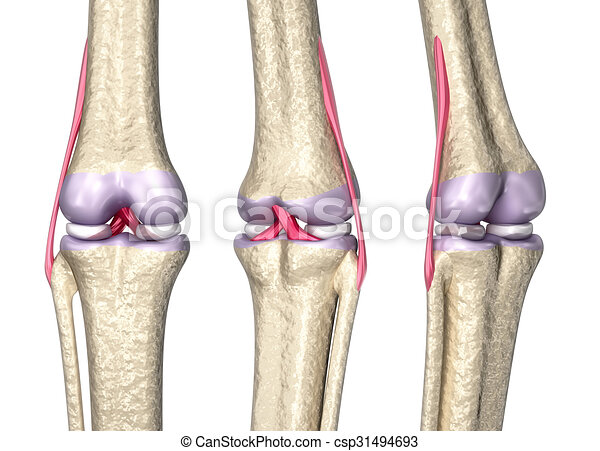 Knee anatomy 3d choice image human anatomy organs diagram knee joint anatomy 3d model stock illustration search vector ccuart Image collections