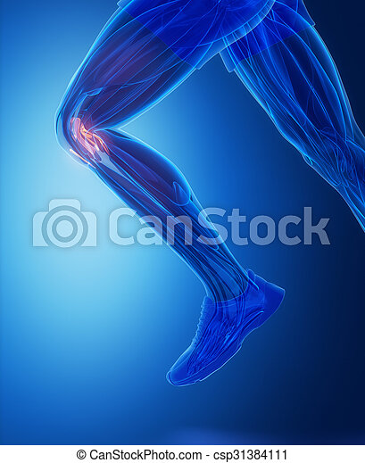 Knee Ligaments Human Connective Tissue Anatomy