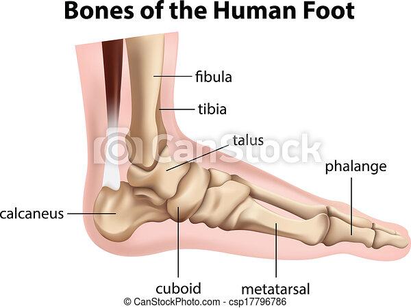 Knochen, fuß, menschliche . Hintergrund, abbildung, knochen ...
