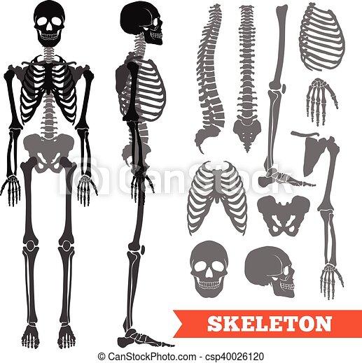 Knochen, satz, skelett, menschliche . Wohnung, satz, menschliche ...