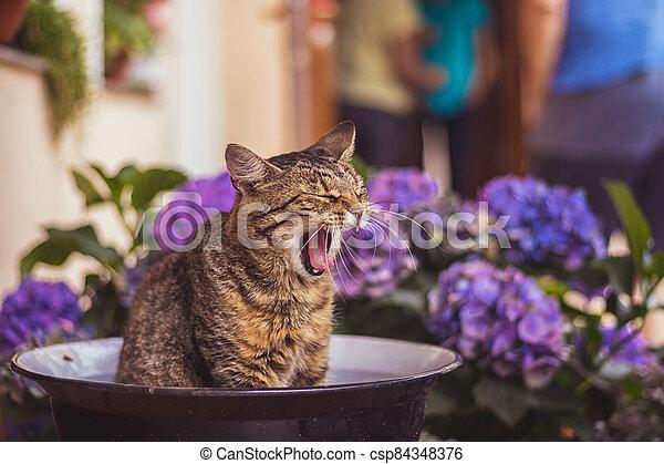 kočka, nach, mísa, dokola, mourek, ospalý, hortenzie, květiny, zívat, sedění, veranda, konzervativní - csp84348376