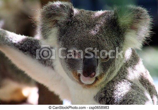 koala - csp0658983