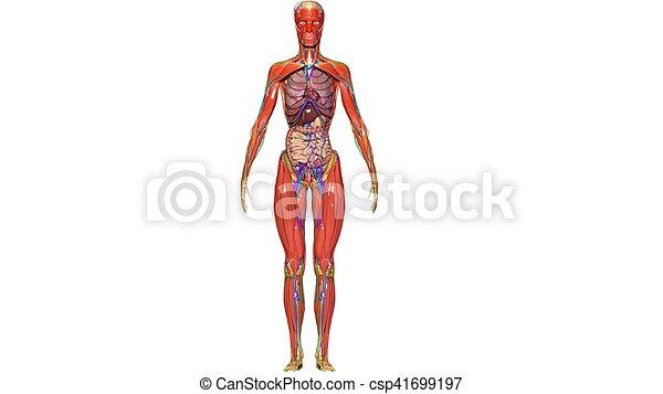 Koerper, abbildung, koerperbau, menschliche , organe, 3d. Dahin ...