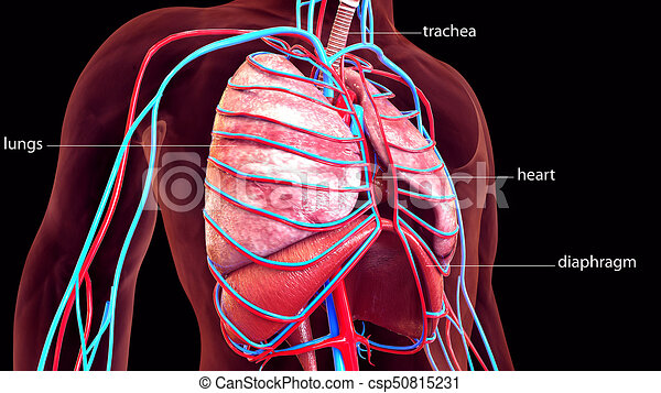 Koerper, abbildung, koerperbau, menschliche , organe, 3d. Gelassen ...