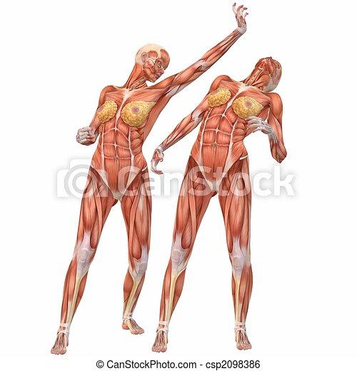 Koerper, anatomy-street, weibliche , menschliche , kampf. Edv ...