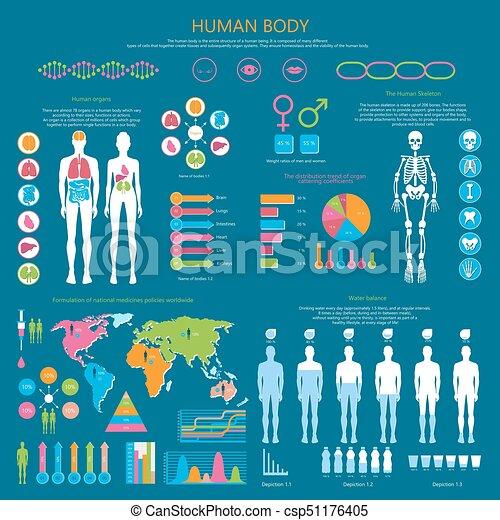 Koerper, ausführlich, statistik, menschliche , infographic. Koerper ...
