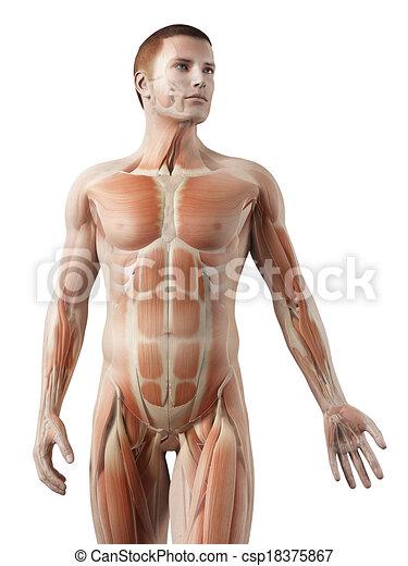 Koerper, höher, mann, -, system, muskel. Koerper, höher, muskel ...