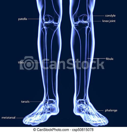 Koerper, menschliche , (leg, gelenke, abbildung, koerperbau, gelenk ...