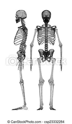 Koerper, menschliches skelett. Koerper, draht, koerper ...