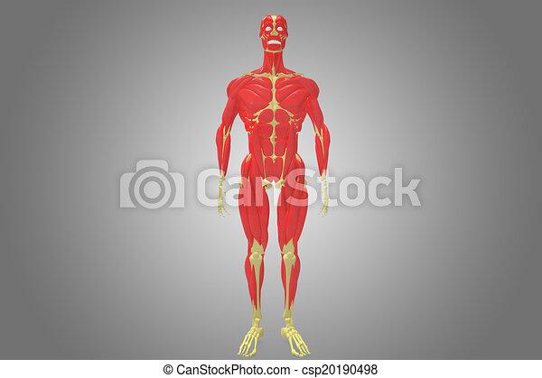 Koerper, muskel, skelett. Previously, bewegung, menschen, muskulatur ...