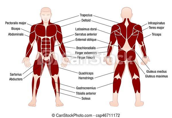 Koerper, muskeln, beschreibung, tabelle, muskulös, mann. Koerper ...