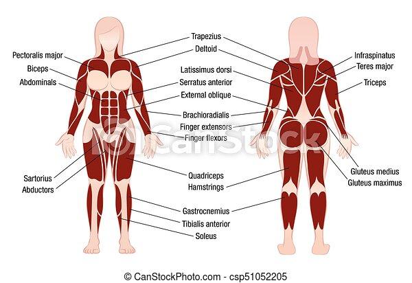 Koerper, muskeln, beschreibung, tabelle, muskulös, frau. Koerper ...