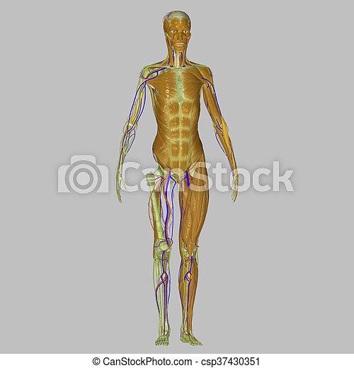 Koerper, muskeln, menschliche . Wesen, eins, vergangenheit, form ...